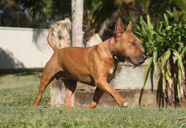 Terrier Growth Chart Growth Bull Terrier Puppy Weight Chart Bull Terrier