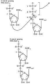 Elongation rna synthesis and processing on university transcript template