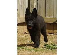 black german shepherd puppies for sale. Simple Shepherd Solid Black German Shepherd Pups AKC Reg 71397 Miles In Puppies For Sale P
