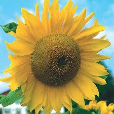 early russian sunflower 1
