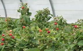 Indoor Kitchen Gardening Garden Landscaping Awesome Raspberries With Green Leaf At Indoor