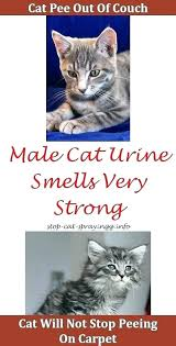 how to get cat urine smell out of couch urine smell out of couch getting cat