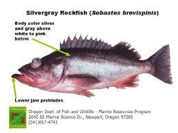 Rockfish Identification Chart Odfw Finfish Species Rockfish