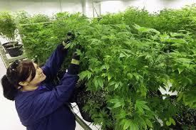 despite unprecedented momentum texas rejects marijuana district of columbiarecreational marijuana use was approved in 2014 photo seth perlman