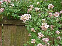 evergreen climbers to cover a fence