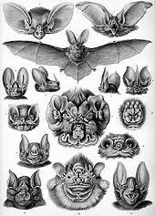 Types Of Bats Chart Bat Wikipedia