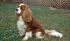 cavaliers dogs.  Cavaliers And Cavaliers Dogs I