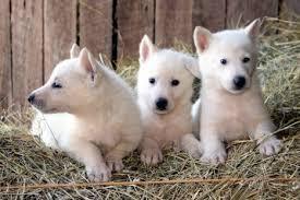 white husky german shepherd mix puppies. Unique Husky White Deutsch Shepherd Dog Puppies Husky Mix Intended German M