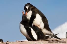penguin love wallpaper. Exellent Love Penguins Mating Images Penguin Love Wallpaper And Background Photos On Wallpaper Fanpop