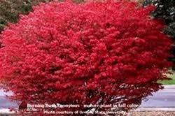 Euonymus Dwarf Burning Bush Size 2