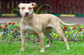 pitbull terrier. Brilliant Terrier For Pitbull Terrier T
