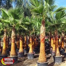 fan palm. mexican fan palm i