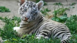 baby white tiger. Plain Tiger White Tiger Baby Photo In