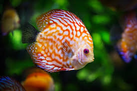 discus fish fish fauna