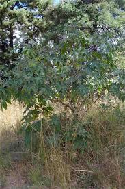 Kasterolie plant