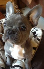 Best 25 French dogs ideas on Pinterest