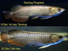 Best Tanning Light For Arowana Malaysia Golden Arowana Challenge