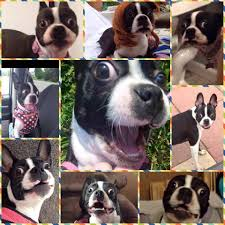 Pin by Jayne Barnes on Boston Terriers Pinterest Terrier