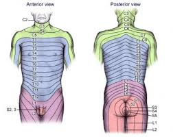 Dermatomal Pattern Adorable Dermatomes Anatomy Overview Gross Anatomy Natural Variants