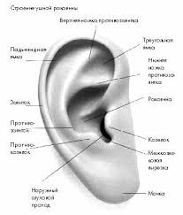 и функции органа слуха человека Строение и функции органа слуха человека