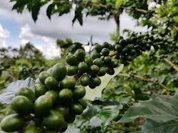el salvador geisha unripe coffee beans divisadero coffees