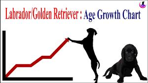 English Golden Retriever Weight Chart Labrador Golden Retriever Age Weight Growth Chart Ii Hindi Ii Dogandvet Ii