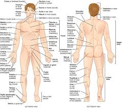 The interpretation of a chest film requires the understanding of basic principles. Mapping The Body Boundless Anatomy And Physiology