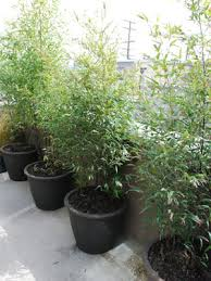 Potted Black Bamboo