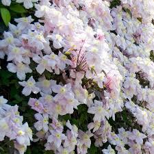 Wall Climbing Plants Southern California