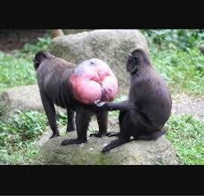 Ass monkey sucking teen