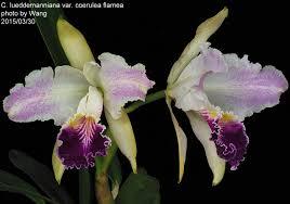 C. lueddemanniana