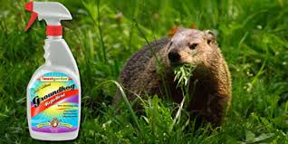 how to keep groundhogs out of my garden. Natural Groundhog Repellent Safe For Use Around Your Home And Pets How To Keep Groundhogs Out Of My Garden E