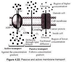 essay scheme of membrane transport cell cell biology passive and active membrane transport