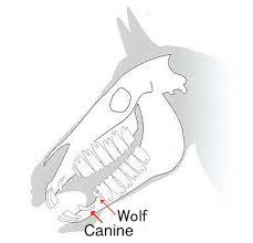 Equine Dental Care And Development