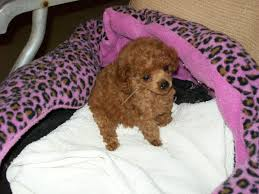 color bred tiny toy teacup poodle breeders
