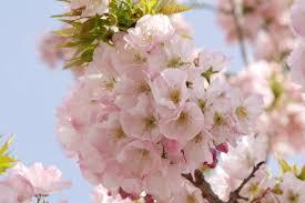 中止】横輪桜まつり|伊勢志摩のイベントを探す|伊勢志摩観光ナビ