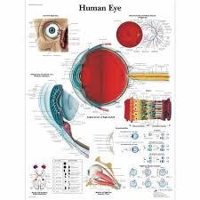 Eye Chart Poster Human Eye Chart