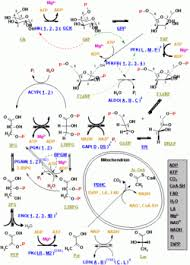 talk glycolysis   wikipediadiagram edit   glycolysis pathway