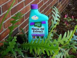 rubber plant losing leaves why do leaves drop off a rubber plant helping your plants a neem oil foliar spray