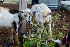 to enlarge goats will also be on site to help maintain the urban farm lea thompson