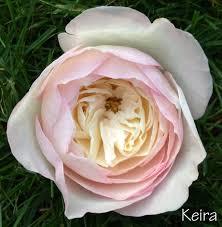 david austin garden rose david austin keira rose