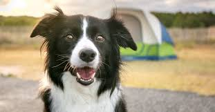 do border collies shed excessively get