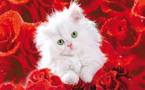 roses images pretty kitty hd wallpaper and background photos