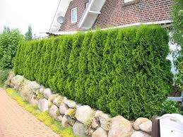 Types Hedge Plant to Fence Home 4