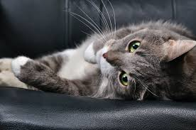 Side Effects of Medications for Anxiety in Cats   petMD