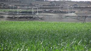 Can I Irrigate Animal Manures On Growing Crops Cropwatch