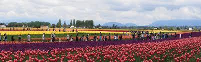 roozen garden tulip festival