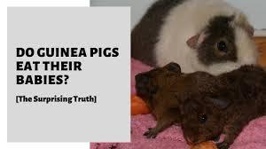 do guinea pigs eat their es the