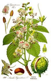 horse chestnut tincture dosage