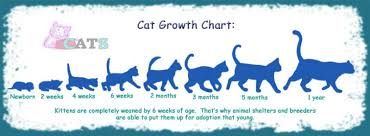 Age Of A Cat Chart Cat Growth Chart And The Growth Of Cats